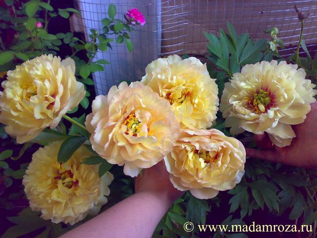 Canary brilliants d 20 22 см кремово желтого