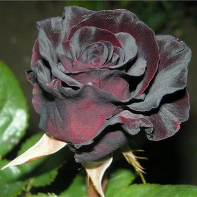 Купить саженцы розы поулсен доставка цветов по киеву через ин