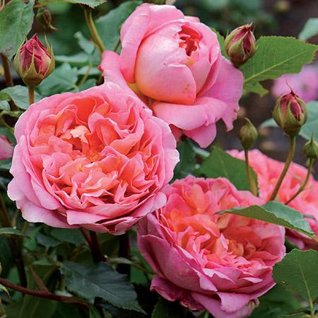 Розы парковые зимостойкие
